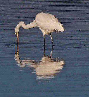 Fawthrop Lagoon Egret